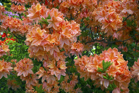Blooming rhododendron in park.