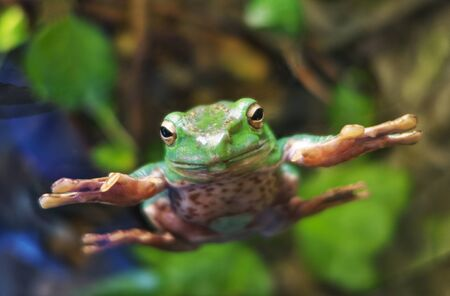Amazonian tree frog grasping aquarium glass in zoo. Focused on eyes.