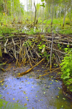 Old abandoned beaver dam in forest.