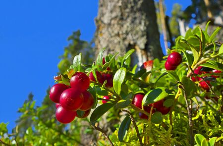 Red cranberries in sunshine growing  in forest.