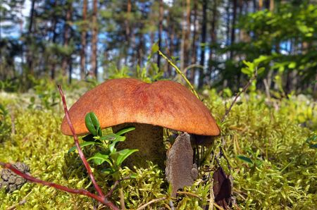 Big edible boletus growing in forest.