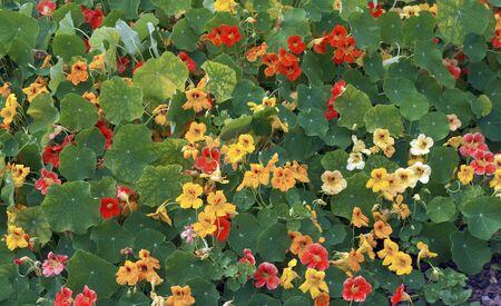 "Beautiful ""carpet"" of garden cress or monks cress on flower bed in garden. Stockfoto"