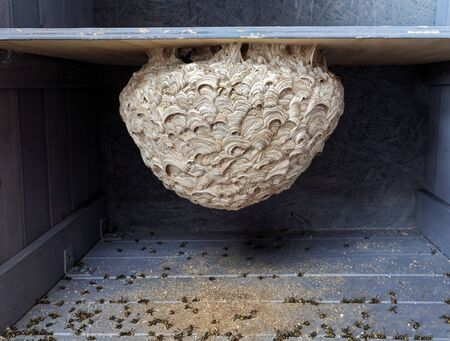 Empty wasp nest (diameter ca 50 cm) in  cupboard of an open air summer kitchen. Dead wasps under nest after using insect spray. 版權商用圖片