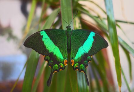 Beautiful Indonesian (Sulawesi) swallowtail butterfly (papilio blumei) resting on palm leaf. Very similar butterflies of this papilionidae family are native to many regions of Southeast Asia ( Malaysia, Philippines, Myanmar etc.) Photographed in butterfly house.