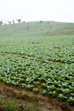 Rows of cabbage in field photo