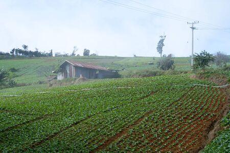 Cabbage field Landscape  photo
