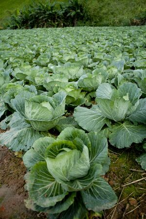 Row of cabbage Stock Photo
