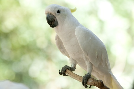 cockatoo in the park  photo