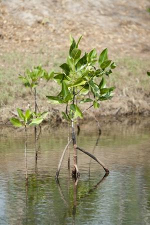 mangrove: mangrove in mangrove forest Stock Photo