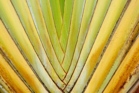 banana tree Stock Photo - 14916998