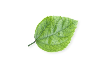 green leaf isolated on white background photo