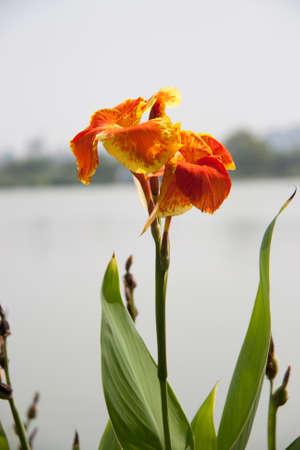 Orange yellow canna flower on the sunlight and background lake orange yellow canna flower on the sunlight and background lake tree and white sky mightylinksfo