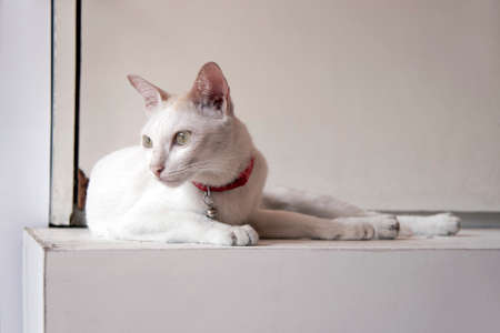 White cat and orange color on the head laying down on the white table. cat is a small domesticated carnivorous mammal with soft fur, a short snout, and retractile claws. It is widely kept as a pet or for catching mice.
