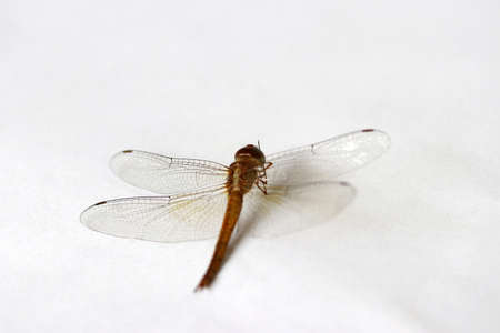 Dragonfly on the white background. t is a fast flying long bodied predator insect with two pairs of large wings that are spread out sideways.