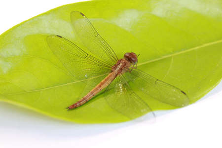 Dragonfly on the green leaf and on the white background. it is a fast flying long bodied predator insect with two pairs of large wings that are spread out sideways.