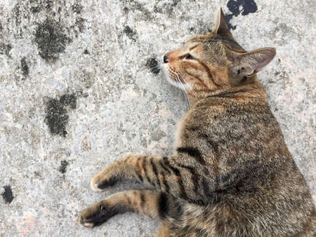 Striped cat lying down and lie on side on the concrete ground. Gray cat sleep on one's side on the grey mortar floor.