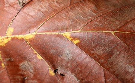 Dark brown and yellow color of dry leaf, Dry leaf of teak tree.