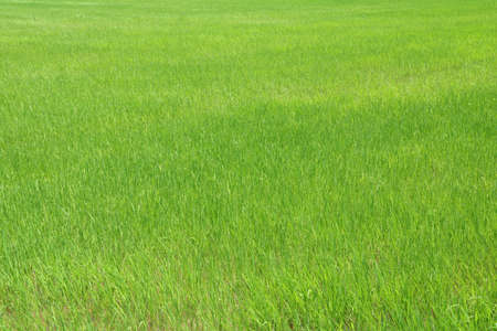 Pattern of green Rice field. the rice plant are exuberant.