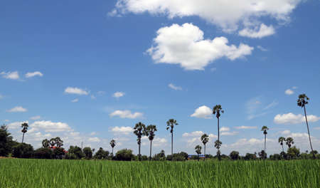View Beautiful of Rice field landscape, with blue sky and sugar palm. the landscape is all the visible features of an area of countryside or land, often considered in terms of their aesthetic appeal.