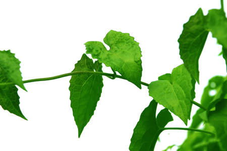 Green leaf of creeper tree style and shape isolated on white background.