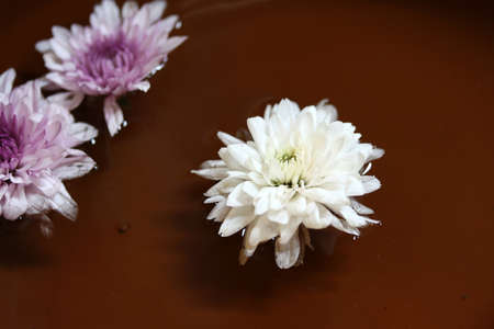 Chrysanthemum flower in purple and white color floating above the water.