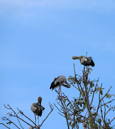 Three open billed stork bird perch at the top of the tree and cleaning feathers on blue sky background. The black and white color of Asian openbill bird on the green tree. Stock Photo