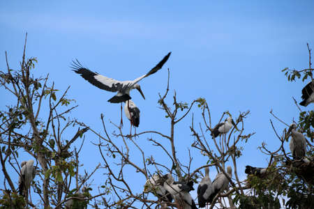 A flock of open billed stork bird perch and winged at the tree on blue sky and white cloud background. A lot of black and white color of Asian openbill bird on the green tree.