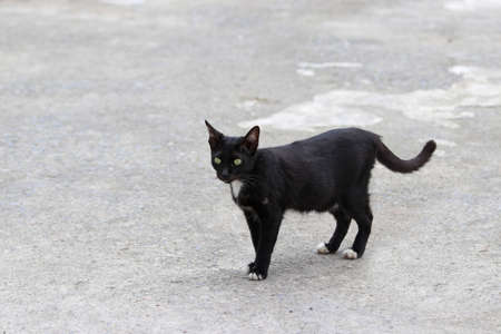 Black and white cat standing on the concrete ground. a small domesticated carnivorous mammal with soft fur, a short snout, and retractile claws. It is widely kept as a pet.