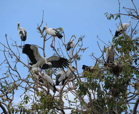 Flock of open billed stork bird perch and winged at the tree on blue sky and white cloud background. A lot of black and white color of Asian openbill bird on the green tree.