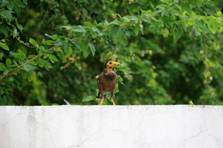 Mynas bird on the white wall and background the branch of green tree.