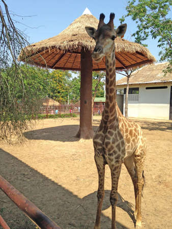Doem Bang Nang Buat, Suphan Buri, Thailand-April 16, 2015: Giraffe stand in the shelter and background big tall umbrella for it at the Bueng Chawak Chalerm Phrakiat. it is a large African mammal with a very long neck and forelegs, having a coat patterned