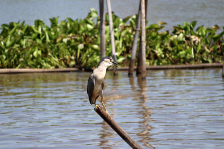 Black-crowned night heron bird perching on the top of dried bamboo in the river with green water hyacinth background.