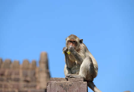 Crab-eating Macaque monkey sitting on the mortar pole of fence and eating sweet water in plastic.