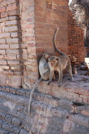 Two crab-eating macaque monkey sitting on the laterite at Phra prang Sam Yot (Three Pagoda) in Lopburi province, Thailand. As the Castle (built in 1720-1773 B.E.) Stock Photo