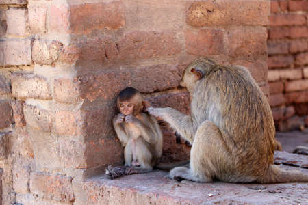 Monkeys checking for fleas and ticks at archaeological site, Phra prang Sam Yot (three holy prangs) in Lopburi province, Thailand. Stock Photo