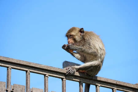 Crab-eating Macaque monkey sitting on the iron rail and eating food.
