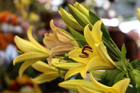 Yellow Elegant Stargazer Lily Beautiful Flowers on blur background. Its intense color and attractive blossom shape.
