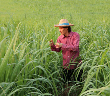 Man farmer checking the leaf in the sugarcane farm and wearing a straw hat with red long-sleeved shirt. Stock Photo