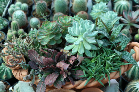 Variety varieties of small cactus decorative combined in terracotta pots.