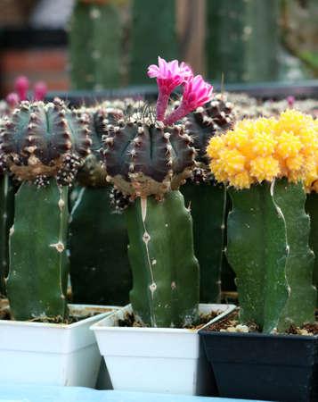 Pink flowers of cactus blooming from gymnocalycium mihanovichii cactus or Moon cactus plant.