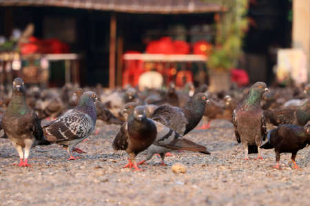 Many pigeons are look for food on the ground.