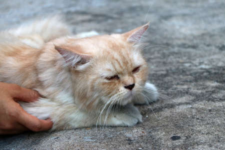 Hand with Persian cat in brown color laying down on the concrete floor.