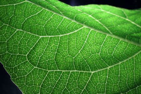 Closeup of portion of green netted veins leaf, reticulate venation of green leave with light. Banco de Imagens