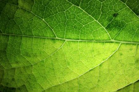 Nahaufnahme eines Teils des grünen netzartigen Venenblattes, netzförmige Äderung des grünen Blattes mit Licht.