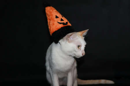 White cat with orange and black color of halloween hat on black dark background. Stock Photo