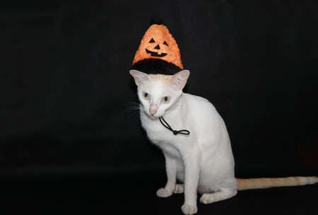 White cat with orange and black color of halloween hat on black dark background. Фото со стока
