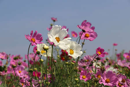 Cosmos sulphureus flower fields in white and pink color. It is also known as sulfur cosmos and attract birds and butterflies, including the monarch butterfly.