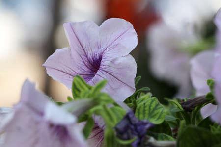 Light purple petunia multiflora flower. Petunia is genus of 20 species of flowering plants of South American origin.