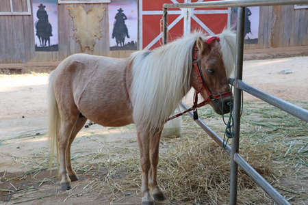 Cream colored horse with long Mane Hair. It is a solid-hoofed plant-eating domesticated mammal with a flowing mane and tail, used for riding, racing, and to carry and pull loads. Standard-Bild