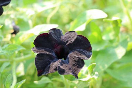 Black petunia multiflora flower on green tree background. Petunia is genus of 20 species of flowering plants of South American origin.